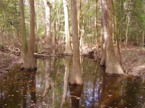 Congaree Swamp; Bald Cypress and Water Tupelo trees.  Click to enlarge.